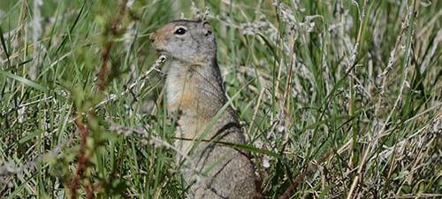 Ground Squirrel sp.