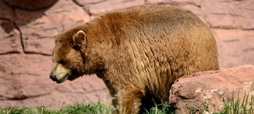 Black Bear (chocolate morph)