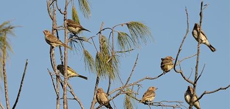 Medium-sized Songbirds-14