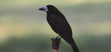Here is another species, the Black Butcherbird.