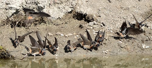 Here a congregation of Cliff Swallows is scooping up mud to pack their nests. They always have their wings up, as if in readiness to fly. Many aerial species are at their most vulnerable point on the ground. The presence of water not only gives them mud, it also increases the chances there are insects in the area.