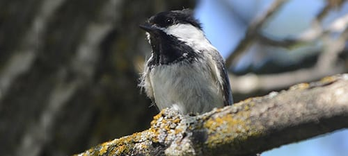 North and west of our Carolina Chickadees the Black-capped Chickadee ranges all the way to Alaska. This one needs to find a chicken and borrow a comb, but going in and out of cavities has its price. Check the field guide and their cheek to see the difference, but I am told the range of the Carolina's moving northward, doubtlessly due to climate change.