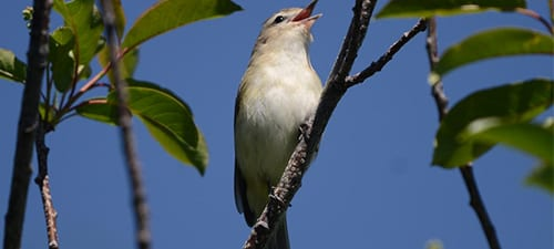 Warbling Vireos are probably more easily seen in the migration than they are in the breeding season. Still, you can sometimes spot one singing in the mid to upper canopy, with typical lazy vireo music. Note the virtual absence of field marks, but the light supercilium and darker eyestripe is visible – even in this terrible angle!