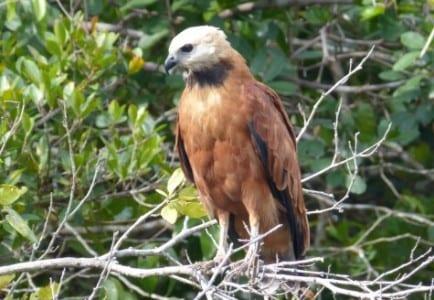 BC Hawk s