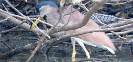Boat-billed Heron ad s