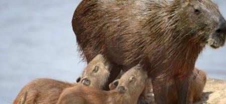 Capybarra w pups s
