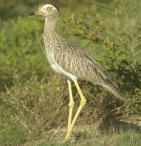 Double-striped Thick-knee s (4)