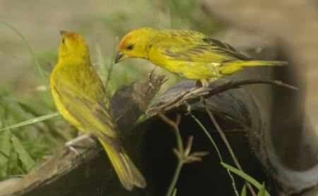 Grassland Yellow-finch ad s