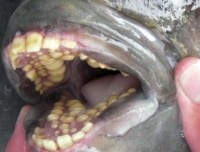 Why you should never stick your fingers in a sheepshead mouth
