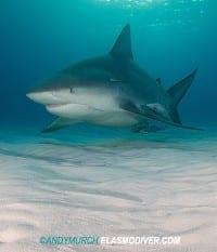 Bull Shark from thrills to chills