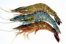 shrimp_4
