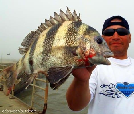 Houston angler Salvador Hernandez fished live shrimp to nab this nice sheepshead