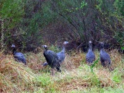 Covey of Rio Grand Turkey