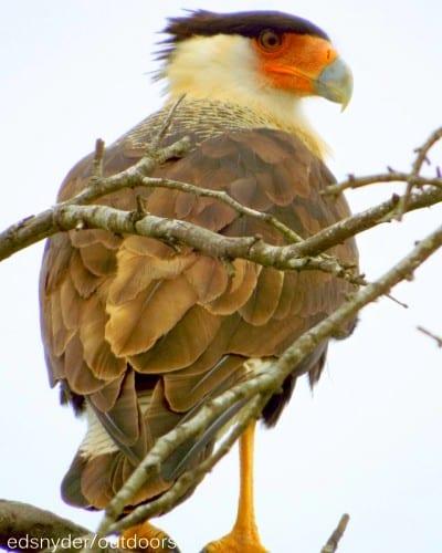 Crested Cara Cara (Mexican Eagle)