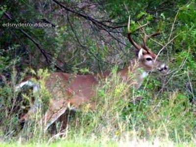 Prowling Buck