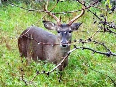 Ten point Buck in the brush