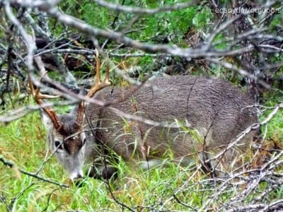 Young 8 pointer in the bush