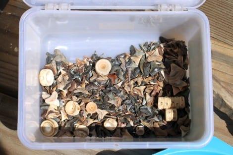 A bucket full of shark teeth along with a few fish vertebrae.