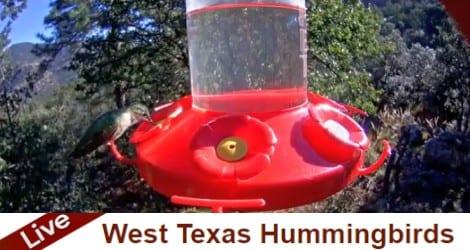 Live Hummingbird Cam